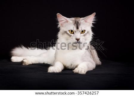Pedigree white and grey Somali cat photographed indoors in studio on black background. - stock photo