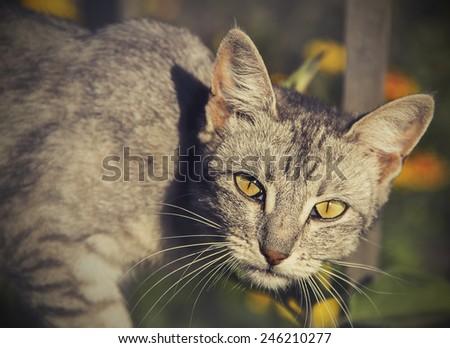 Peer cat with yellow eyes. - stock photo