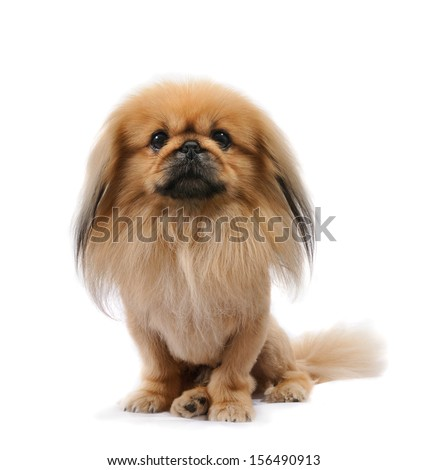 Pekingese dog in studio, sit isolated on white background  - stock photo