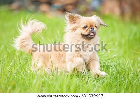Pekingese dog running in the grass - stock photo