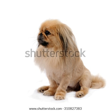 Pekingese dog sits stands, isolated on white background - stock photo