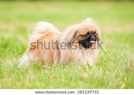 Pekingese dog walking outdoors - stock photo