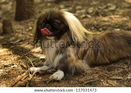 Pekingese resting in the forest/Pekingese in forest - stock photo
