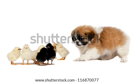 Pekingese with chickens - stock photo