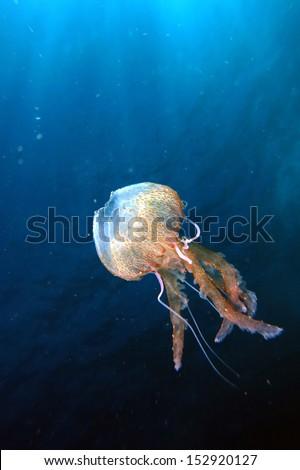 mauve stinger jellyfish australia - photo #23