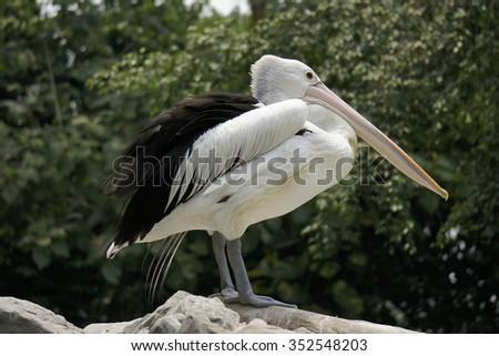 Pelican  - stock photo