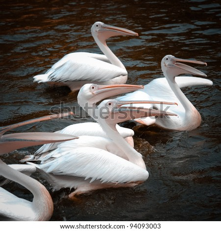 pelican birds - stock photo