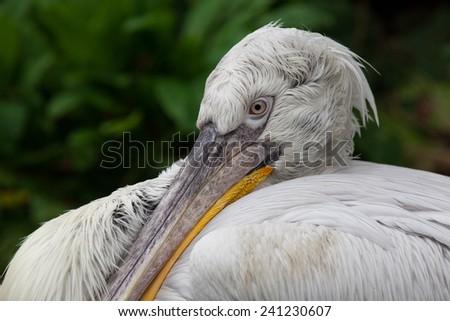 Pelican close-up - stock photo