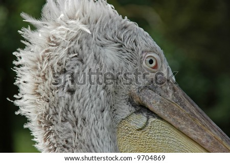 Pelican Close-Up showing detail of eye and bill - stock photo