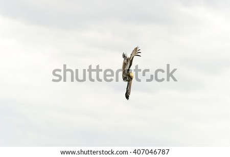 Pelican diving is a pelican captured at high speed in a full dive hunting for its food with the ocean horizon in the background. - stock photo