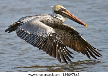 Pelican Flying Over the James River - stock photo