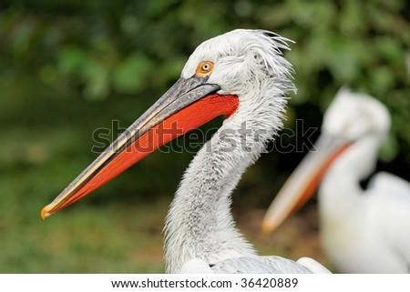 Pelican head - stock photo