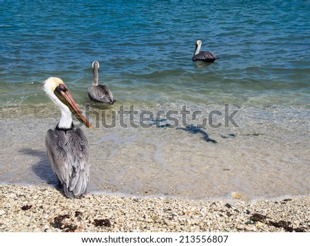 Pelican in Aruba a small caribbean Island in the Netherland Antilles - stock photo