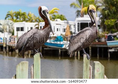 Pelican in Florida - stock photo