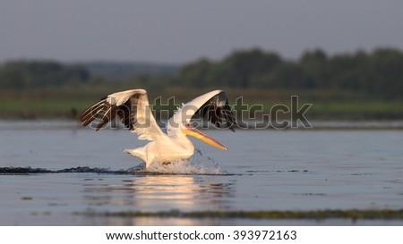 Pelican in flying - stock photo