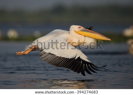 Pelican in flying ( Pelecanus onocrotalus ) - stock photo