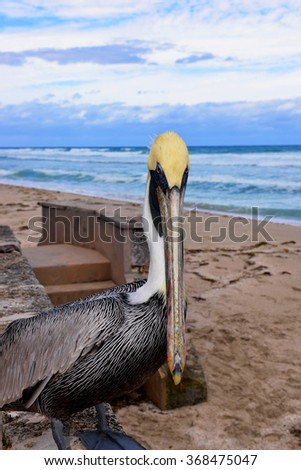 Pelican looks at camera.  Atlantic Ocean in Cuba in background - stock photo