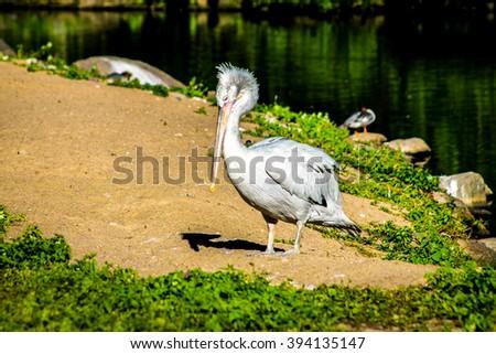 Pelican, pelecanus occidentalis - stock photo