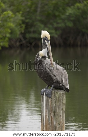 Pelican resting on a post, closeup - stock photo