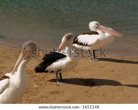 Pelican trio - stock photo