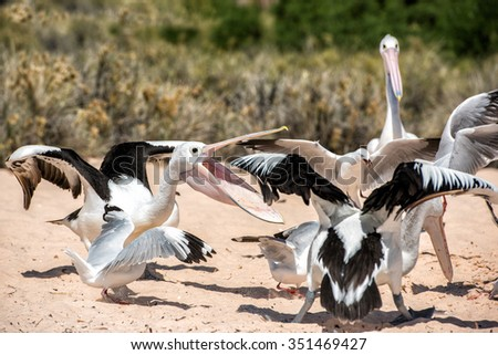 Pelican while fighting for food on the blue sea - stock photo