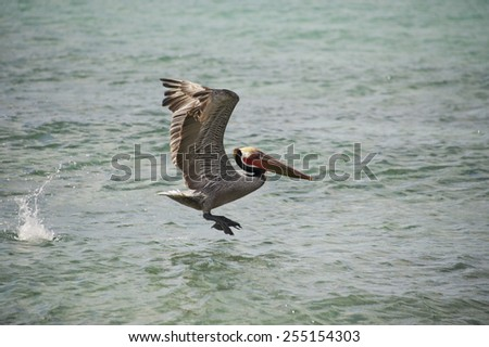 Pelican while flying from a boat - stock photo