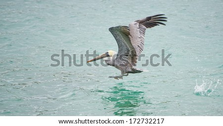 Pelican while flying on the blue sea - stock photo