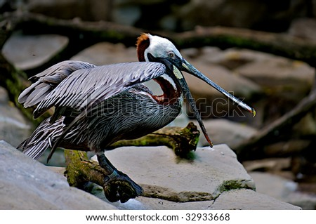 Pelican with mouth wide open hunting for a meal. - stock photo