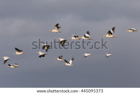 Pelicans - stock photo