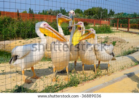 Pelicans in a zoo - stock photo