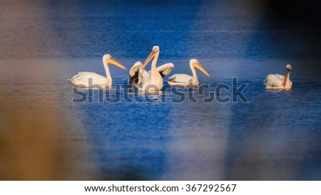 Pelicans on lake Sasyk, Ukraine - stock photo