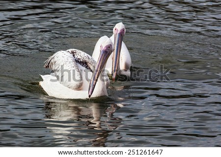 Pelicans on the move. Two beautiful pelicans head towards the camera. - stock photo