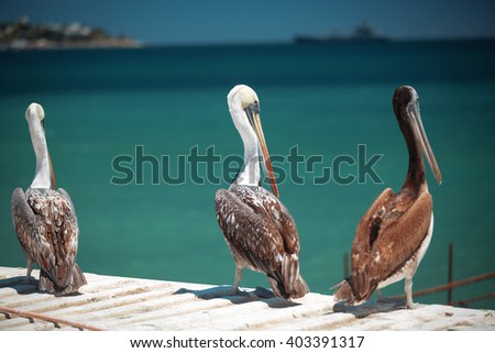 Pelicans on the Pacific coast of South America - stock photo