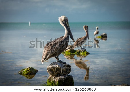Pelicans sitting in a line, 3 in a row - stock photo