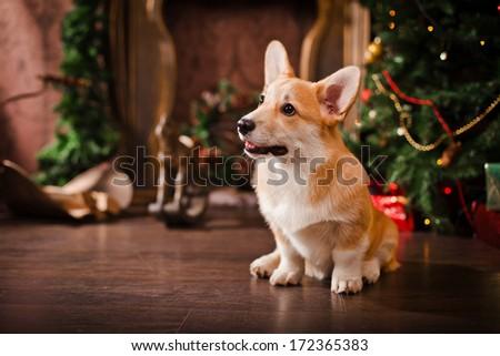 Pembroke corgi puppy - stock photo