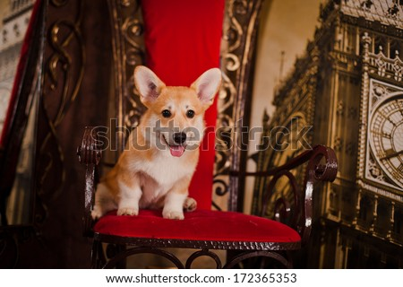 Pembroke corgi puppy, Christmas and New Year - stock photo