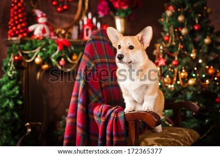 Pembroke corgi puppy, Christmas and New Year - stock photo