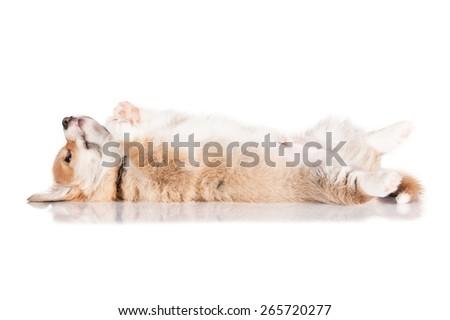 Pembroke welsh corgi puppy - stock photo