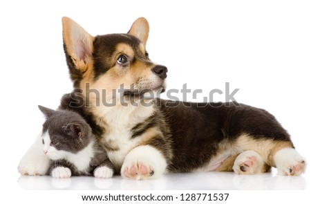 Pembroke Welsh Corgi puppy embraces a kitten. isolated on white background - stock photo