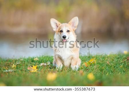 Pembroke welsh corgi puppy in autumn - stock photo