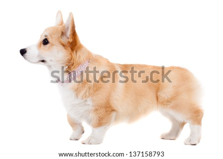 Pembroke Welsh Corgi puppy isolated on a white background - stock photo