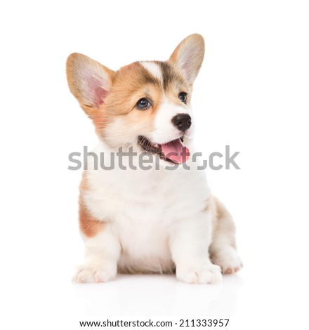 Pembroke Welsh Corgi puppy sitting in front. isolated on white background - stock photo