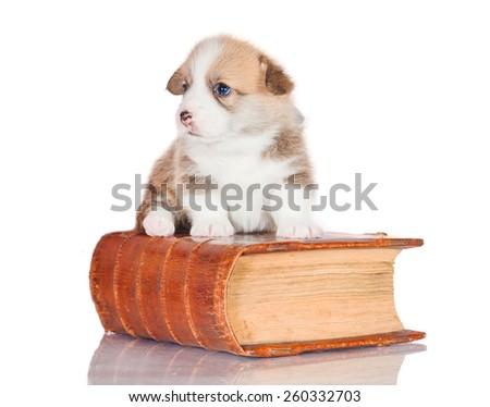 Pembroke welsh corgi puppy sitting on the book - stock photo