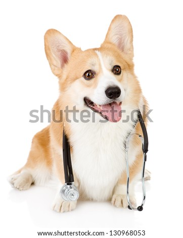 Pembroke Welsh Corgi puppy with a stethoscope on his neck. isolated on white background - stock photo