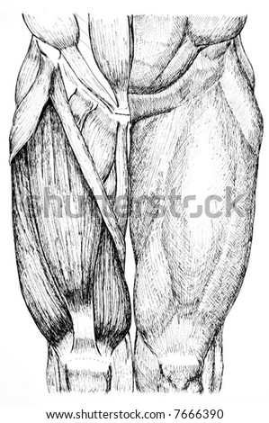 pen and ink anatomical drawing of the back of a man showing muscles, illustration was drawn by photographer - stock photo