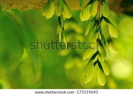 pendant clusters of green maple seeds with leafy backdrop - stock photo
