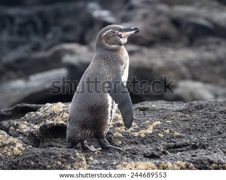 penguin - Bartolome Island - Galapagos National Park Ecuador  South America - stock photo