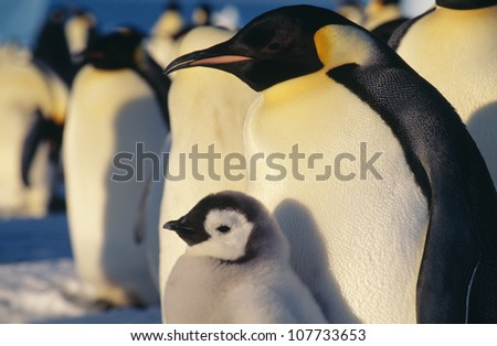 Penguin, close-up - stock photo