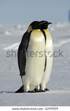 Penguin couple - stock photo