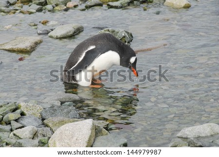 Penguin in Antarctica - stock photo